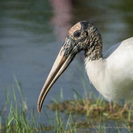 Wood Stork 03