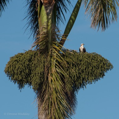 Osprey nest in palm tree berry branches
