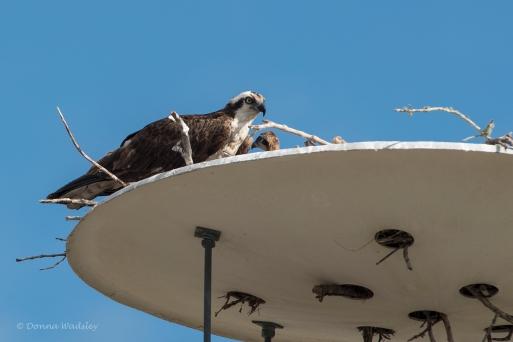 Osprey chick!