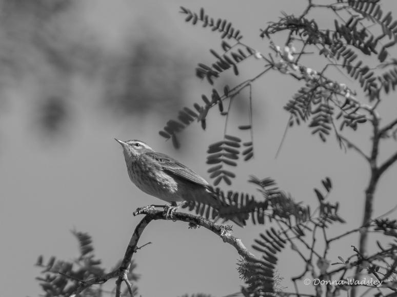 DSC_3399-1 12321palm warbler