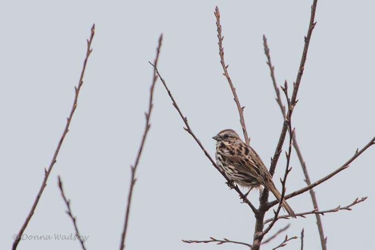 DSC_5458-1 32521songsparrow