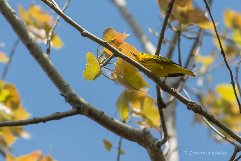 DSC_6729-1 51621 YellowWarbler