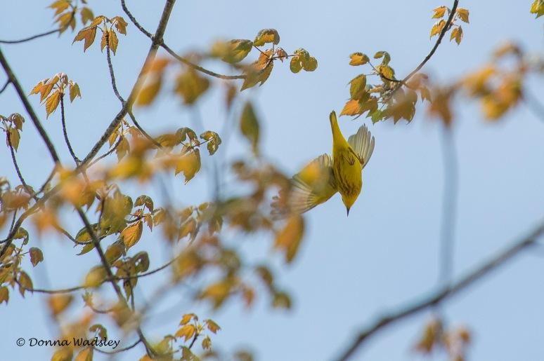DSC_6744-1 51621 YellowWarbler