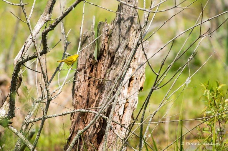 DSC_6831-1 51621 YellowWarbler