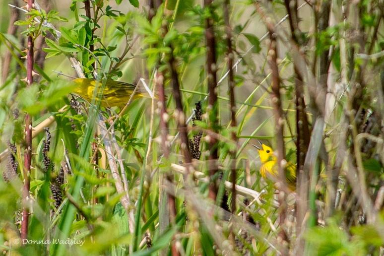 DSC_6879-1 51621 YellowWarbler