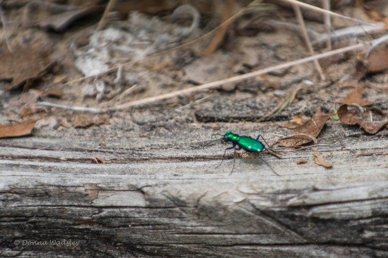 DSC_5639-1 51621 6spotted tiger beetle
