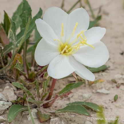 #1 Gumbo Lily (Badlands)