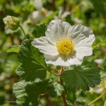 #13 - Rubus (Black Hills)