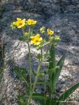 #10 - Cinquefoil (Potentilla spp.) (Black Hills)