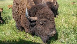 "Head Bull ""Pig"""