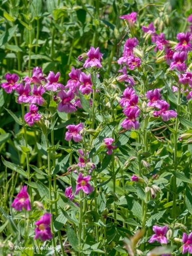 Purple Monkey Flower