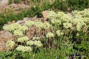 Wildflower #6