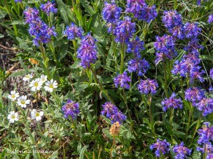 White flowers are Snow-in-Summer; Wildflower #10 - purple?