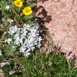 Wildflower #15 - yellow? White flowers are Mountain Phlox