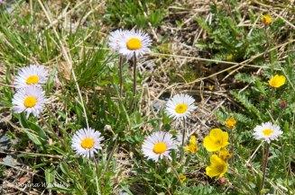Daisy, possibly Dwarfed Shasta